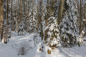 Fototapete - Winter landscape of mainly deciduous forest in sunset light