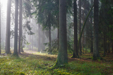 Fototapete - Coniferous trees against light of misty sunrise
