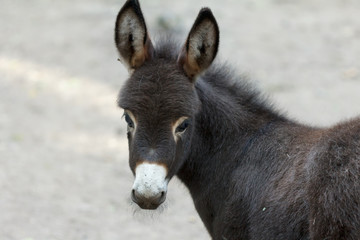 Donkey is a cute young donkey closeup looking into the camera.