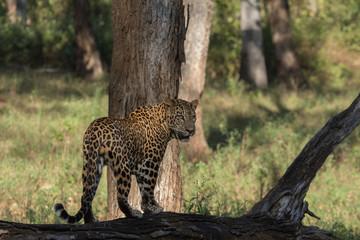 Leopard at Ground Level Returning Look, Nagarhole National Park, Karnataka, India