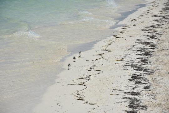 Oiseaux plage cayo levisa cuba