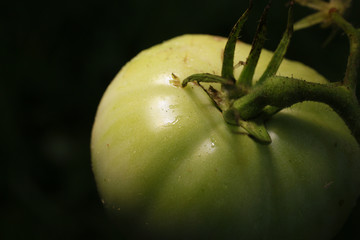 Green tomatoes ripening in the garden