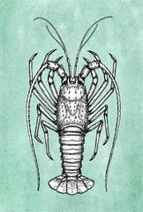 Ink sketch of spiny lobster.