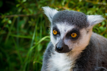 Wild lemur that is curious