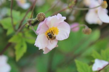 Biene auf einer Herbst-Anemone