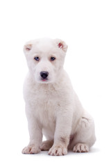 Portrait of a white middle-Asian Shepherd