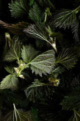 macro image of foraged wild stinging nettles