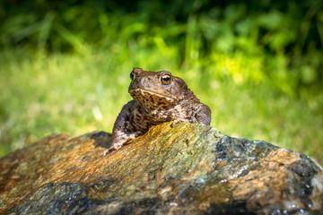 Amphibian, Common British Toad / Frog