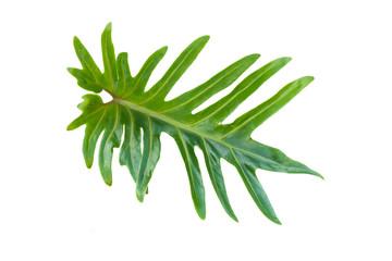 Leaf fern isolated on white background, Single green tropical leaf on white background