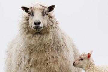 Pecora ovis aries isole Shetland Scozia al pasco con agnelli