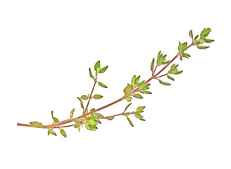 Thyme sprig isolated on a white background, top view