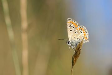 Aricia sp.