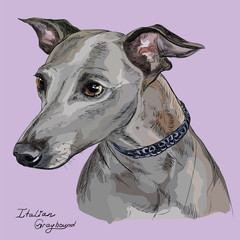 Italian Greyhound colorful vector hand drawing portrait