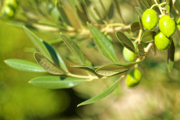 Green olives on a branch of olive tree - outdoors shot