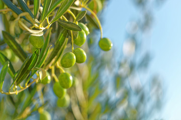 Green olives on olive tree - close up outdoors shot