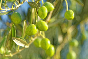 Olives on a branch of olive tree - close up outdoors shot
