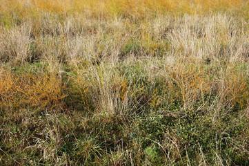 Summer landscape with golden yellow grass