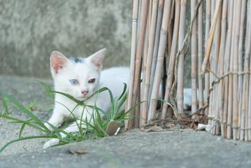 オッドアイの白猫の子猫
