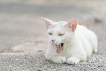 あくびをする白猫