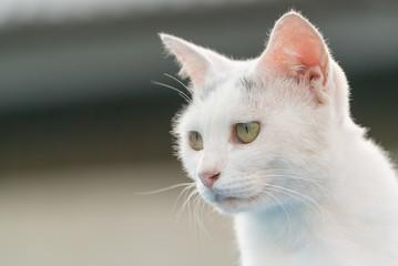見つめる白猫(アップ)
