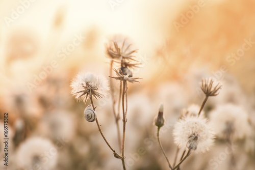 Delicate fluffy dandelion flowers in the light of the setting sun And a snail on the branches. Natural yellow background. Soft gentle photo. Soft focus.