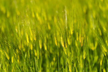 Barley grain is used for flour,bread,  beer, some whiskeys, some vodkas, and animal fodder