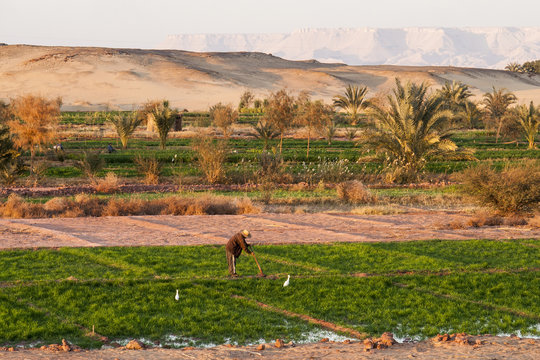Dakhla, Egypt - December 25, 2006: Working on the fields at Dahla oasis, Egypt.