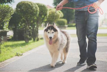 Asian man walking with a siberian husky don