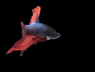 A colourful siamese fighting fish