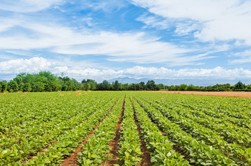 Agricultural landscape. Field of soy.