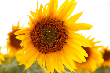 Wedding rings on sunflowers