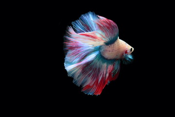 yellow fighting fish on a black background The tail is similar to the Thai flag.