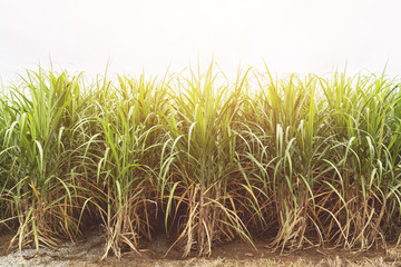Sugarcane field in blue sky with orange sun ray