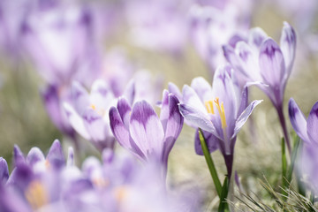 Beautiful violet crocus flowers growing on the dry grass, the first sign of spring. Seasonal easter background.