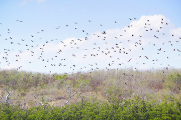 Swarm of giant black bats in the sky flying somewhere else to get food during the day in Flores, Indonesia