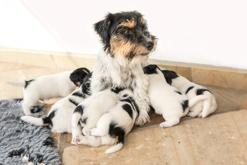 Jack Russell puppies and her mother - 4 weeks old