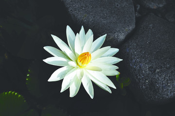 Close-up of one open lotus flower with white petals and closed yellow core in a dark lake.