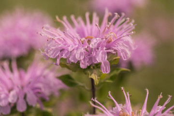 Close Up Bee Balm Flower