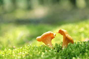 Two mushroom chanterelle in moss forest