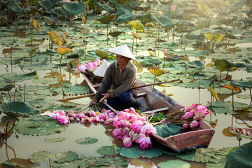 Garden Poster Lotus flower Agriculture is harvesting lotus in the swamp.