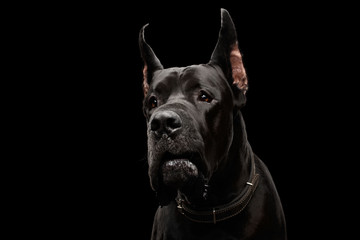 Close-up Portrait of Great Dane Dog Isolated on Black Background, studio shot