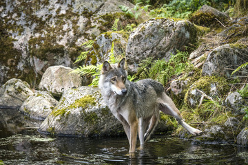 Grey wolf in a river with rocks
