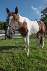 Painted Horse looking at camera