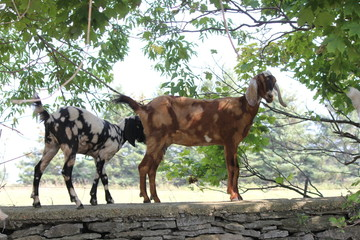 Goats playing on top of a stone wall on a small farm.