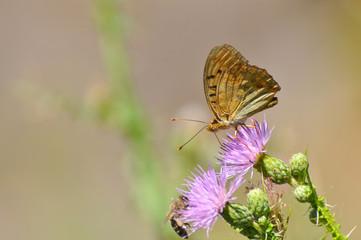 Argynnis pandora - Cardinal cloak butterfly on a flower in summer. Butterfly on wild meadow
