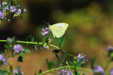 Southern Small White butterfly, Pieris mannii on flowers in meadow. Small white butterfly feeding on flowers