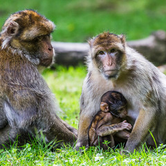Barbary macaque suckling from its mother