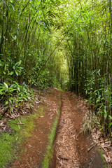 Red Dirt Path Leading Through The Bamboo Forest At Maui
