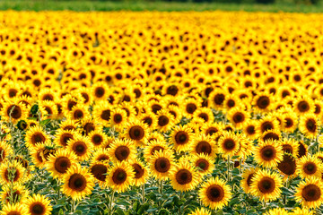 Round yellow blooming sunflower field at sunset. Beautiful natural sunflower backrgound texture. Scenic landscape of sunflower plantation