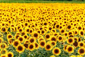 Round yellow blooming sunflower field at sunset. Beautiful natural sunflower backrgound texture. Scenic landscape of sunflower plantation